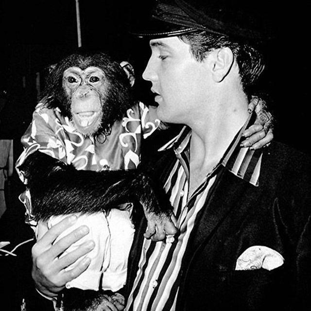 Лучший друг Элвиса — шимпанзе по кличке Скаттер