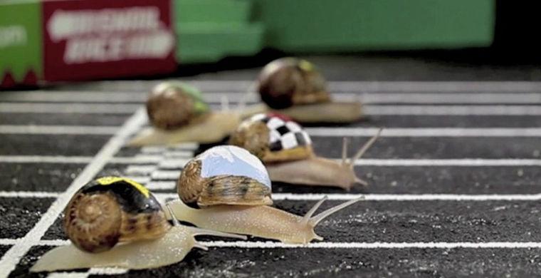 гонки улиток, snail race