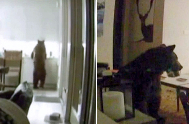 Медведь ловко обокрал холодильник