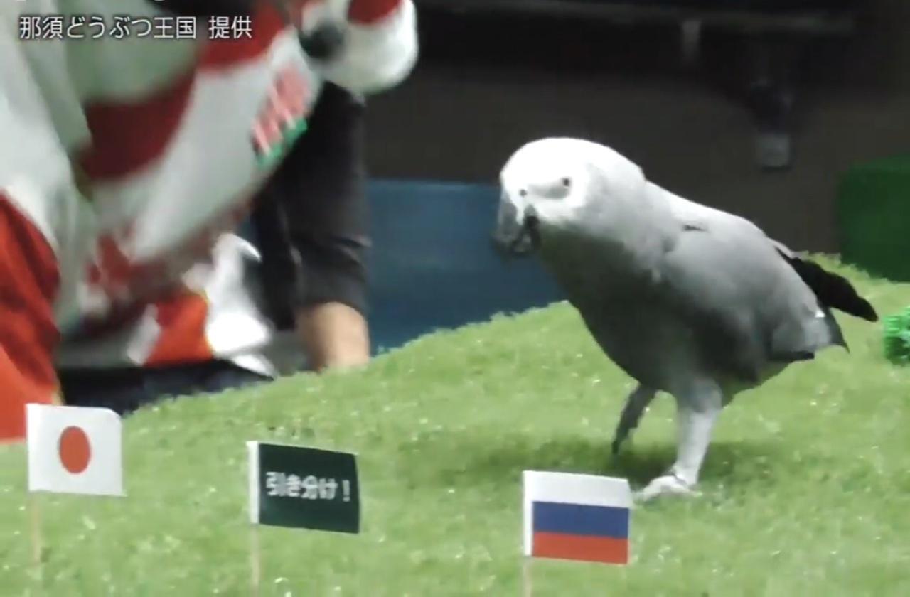 Попугай выбирает победителя на Кубке мира по регби