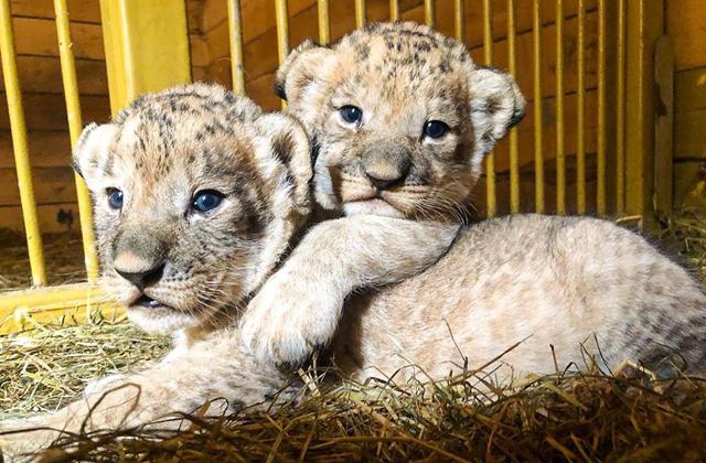 В Приморье овчарка стала приемной мамой для брошенных львят