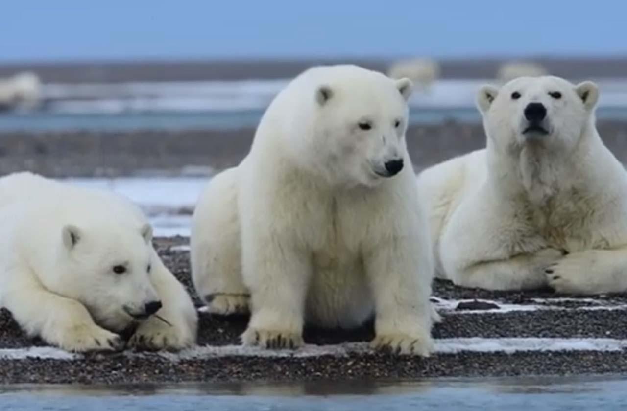 Белые медведи развлекаются, бросая ветки в воду