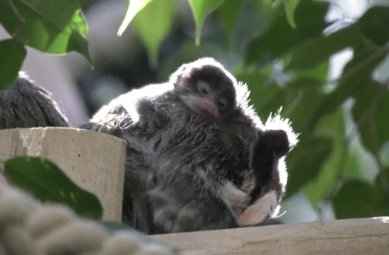 Детеныш императорского тамарина впервые появился на публике в зоопарке Берлина