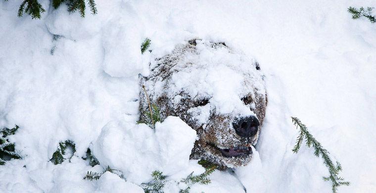 Бурый медведь в берлоге
