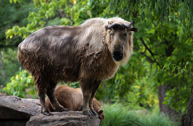 Самые редкие животные такин