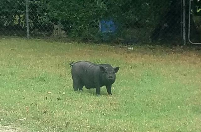 Полицейские сняли на камеру «неуловимую свинью»