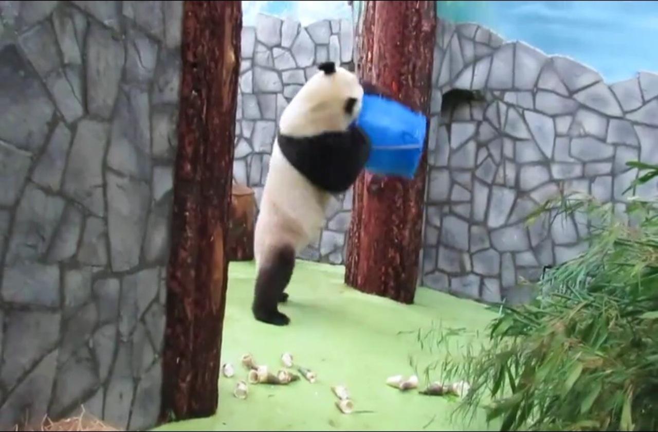 Панда Жуи играет с бочкой