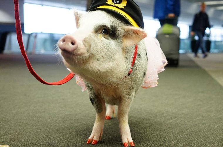 планировании свинка на работе фото данной процедуры