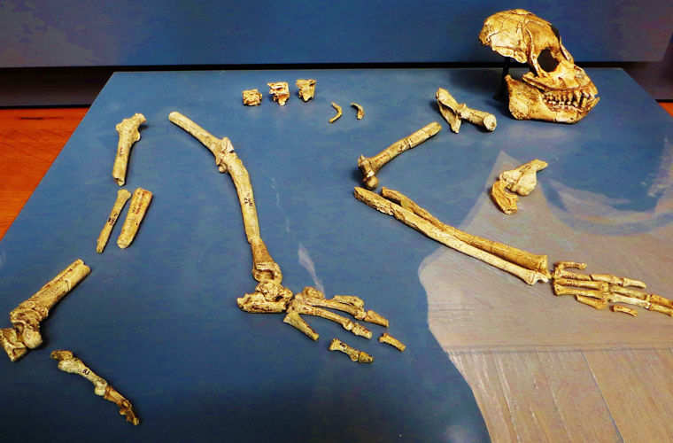Ископаемые останки Proconsul nyanzae
