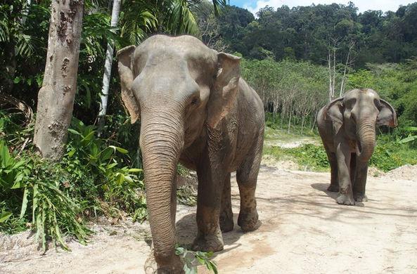 На Пхукете создали заповедник для спасенных от рабства слонов - Телеканал «Моя Планета»
