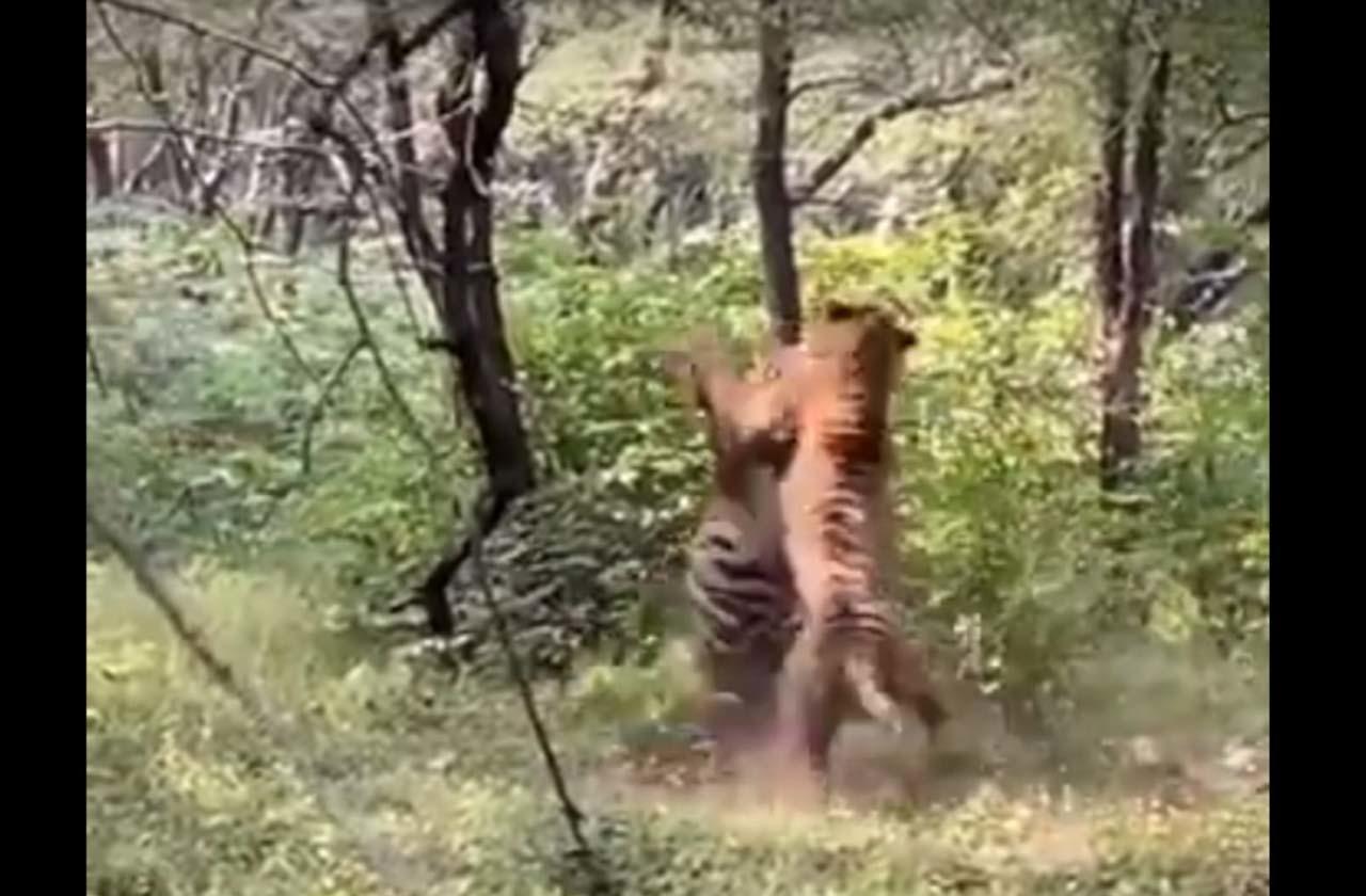 Тигры подрались из-за самки
