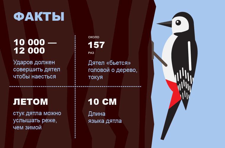 Факты о дятлах, Моя Планета