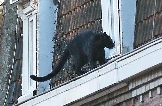 Во Франции на крыше дома поймали черную пантеру