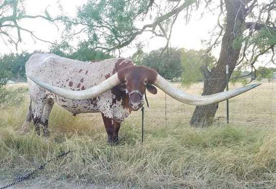 Техасский бык отрастил самые длинные рога в мире