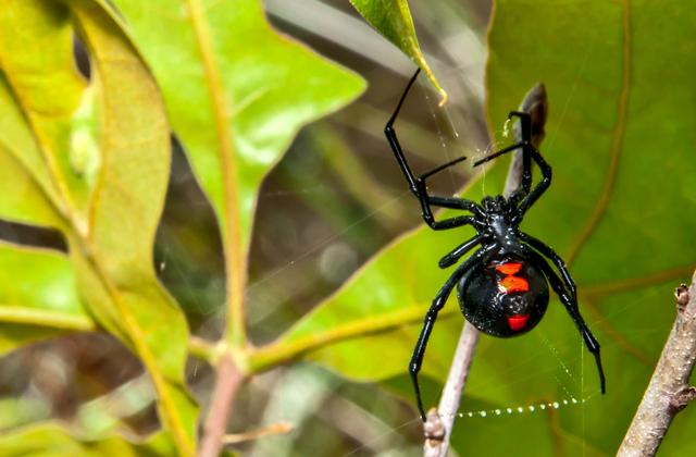 В Боливии дети натравили на себя ядовитого паука, чтобы получить суперспособности