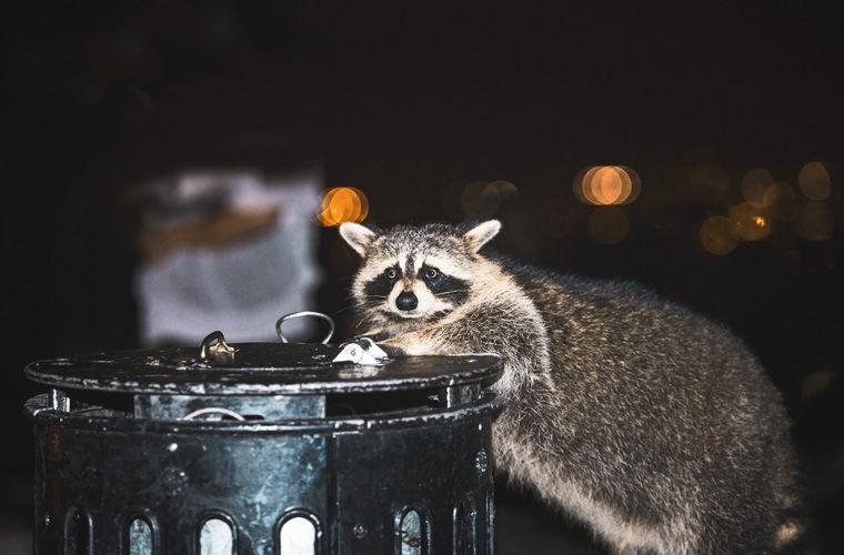 Енот на мусорном баке