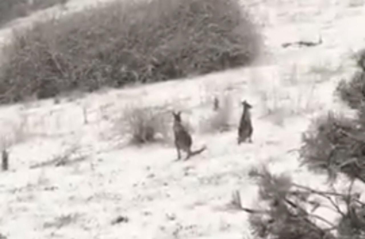 Кенгуру смотрят на снегопад
