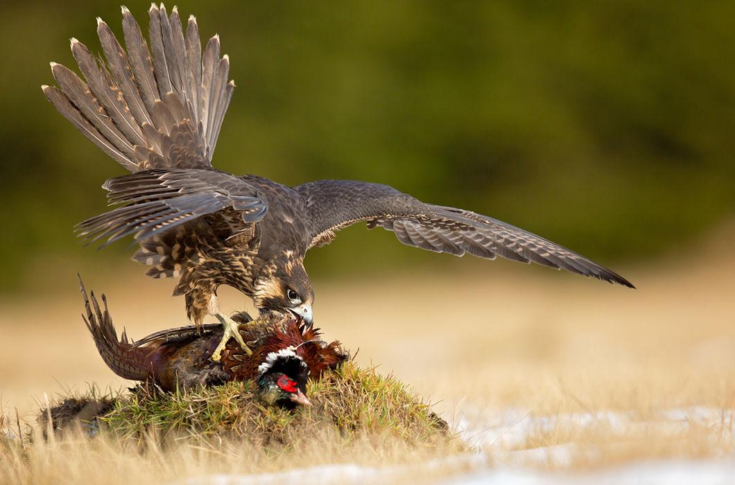 хищные птицы на охоте фото для квадроцикла