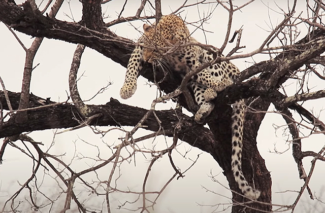 Павианы загнали леопарда на дерево