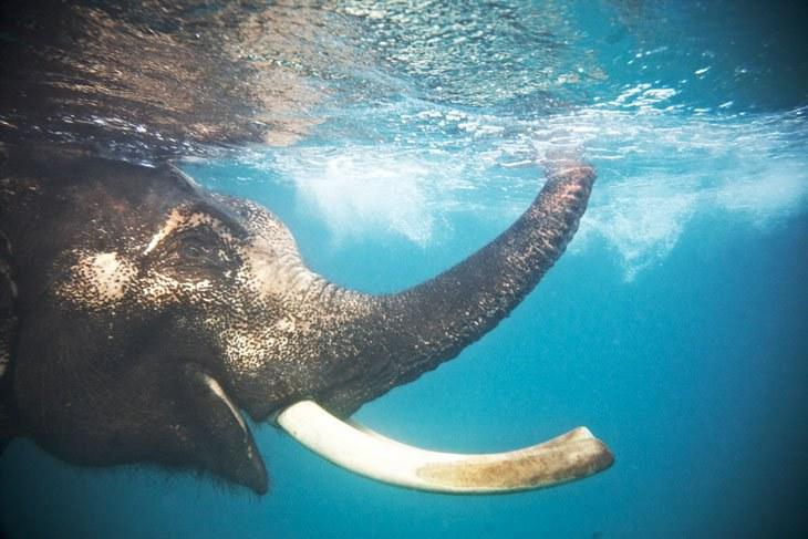 красивые свадьба картинка плывущий слон твердо