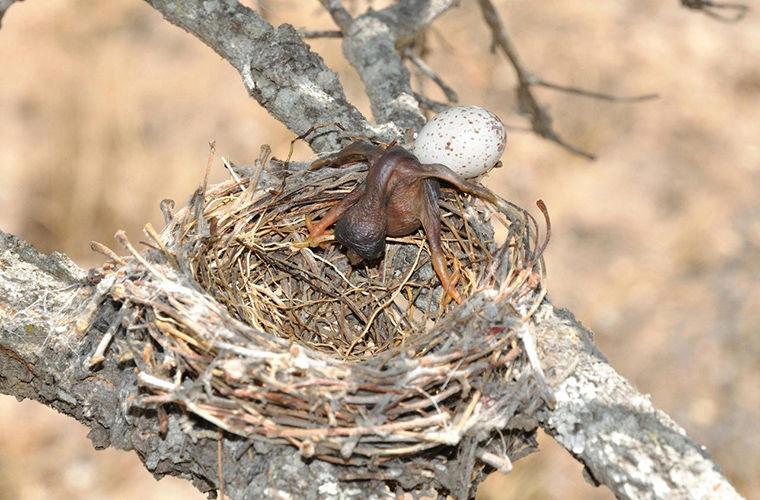 Почему кукушки подбрасывают яйца? - Телеканал «Моя Планета»