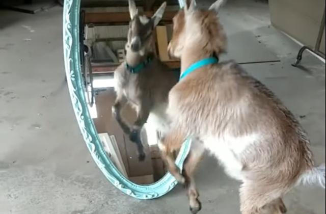 Козленок устроил драку со своим отражением в зеркале
