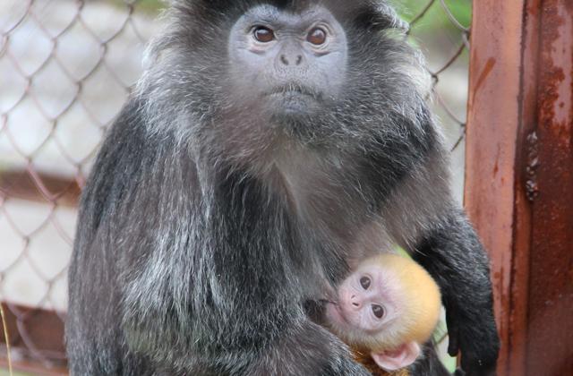 В пермском зоопарке родился «апельсиновый» детеныш лангуров