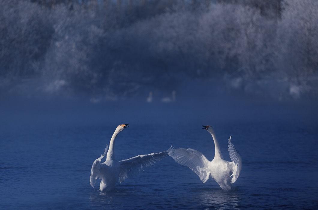 Картинка танцующих лебедей