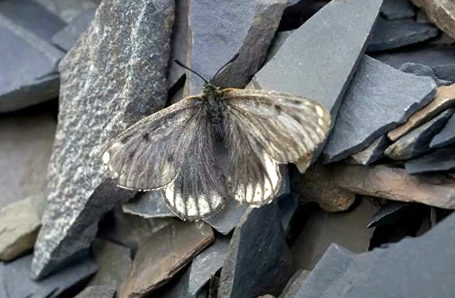 Арктическая бабочка, Россия