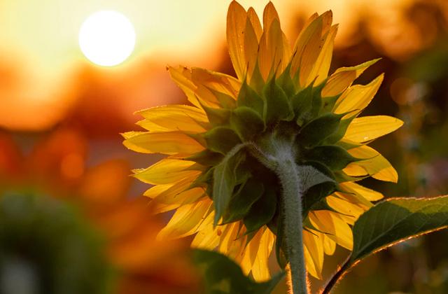 Почему подсолнух следует за солнцем?